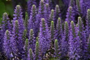 Plantas medicinales para estrés, insomnio y depresión leve