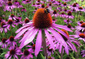 Echinacea purpurea puede reducir el uso deantibióticos en niños